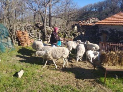 """AMU termina campanha """"Ajuda aos Incêndios"""" com última entrega de ovelhas"""